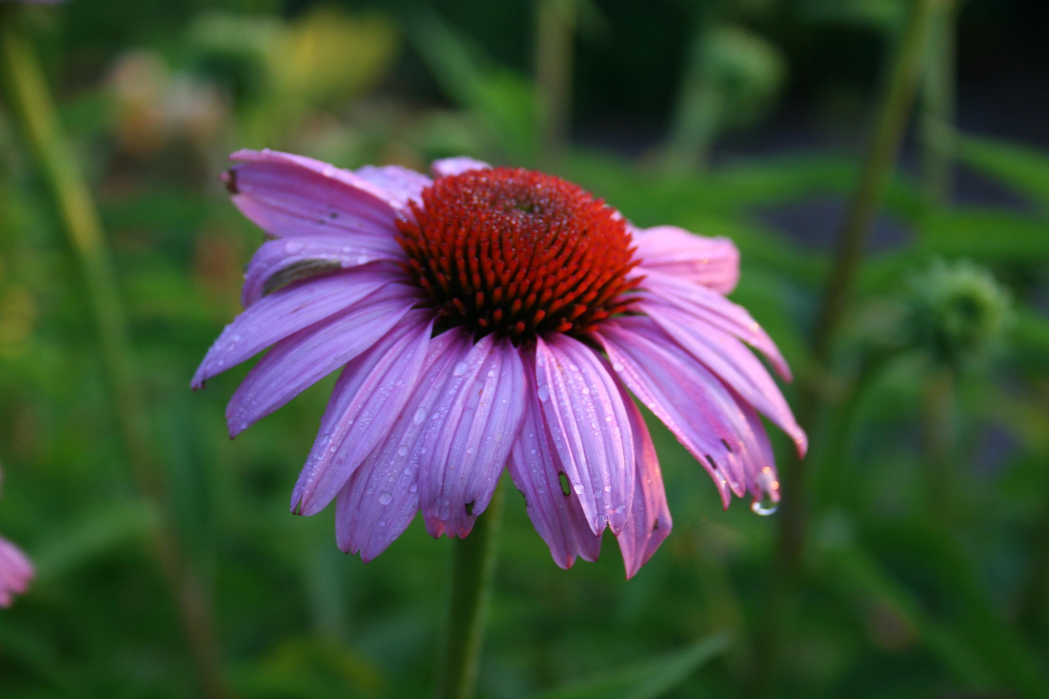 Hierbas ornamentales tolerantes a la sombra y plantas semejantes a hierbas | Más allá de Impatiens y Petunias | Extensión de U de I